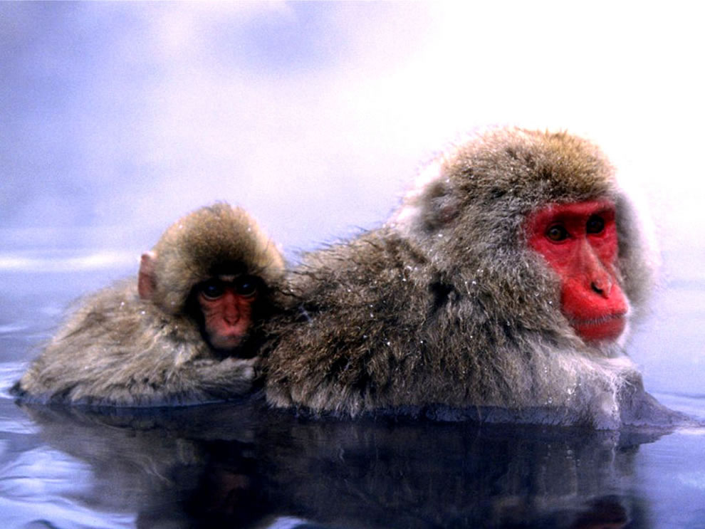 Mom and baby monkeys in the water