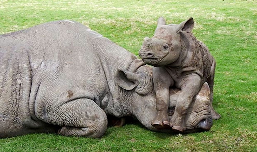 Rhino baby saying get up mom, it's time to play