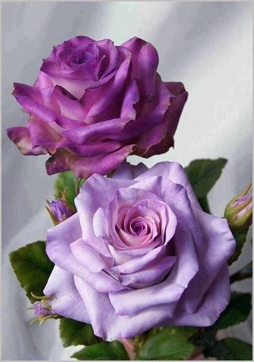 purple roses pictures photos