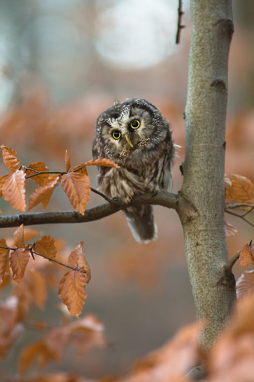 Cute Owl In The Fall Pictures Photos and Images for Facebook Tumblr Pinterest and Twitter