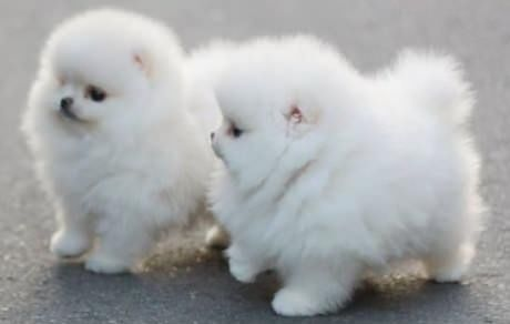 Fluffy White Pomeranian Puppies Pictures Photos and