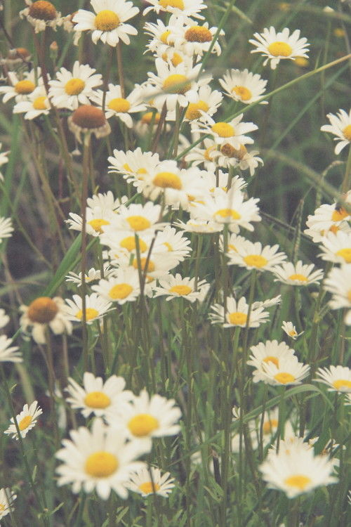 Cute Funny Wallpaper Images Daisies Pictures Photos And Images For Facebook Tumblr