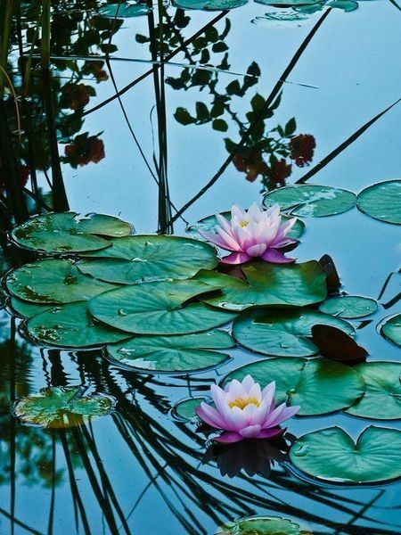 Good morning images with flowers blue lotus. Lotus Pond Pictures, Photos, and Images for Facebook