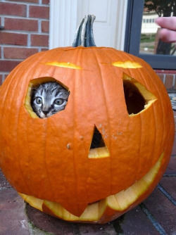 Image result for cat in a pumpkin
