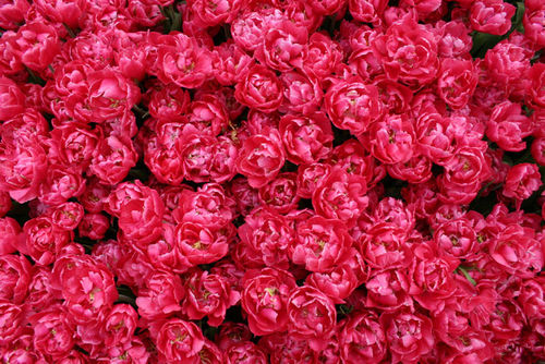 Cute St Patricks Wallpaper Hot Pink Peonies Pictures Photos And Images For Facebook