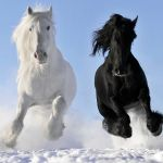 Black And White Horses In The Snow Pictures Photos And Images For Facebook Tumblr Pinterest And Twitter