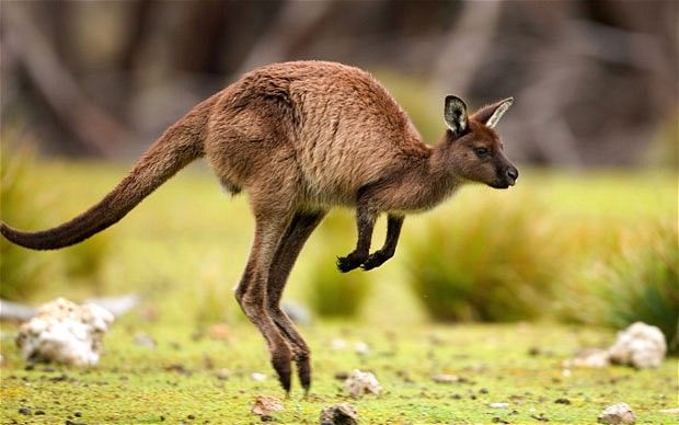 Kangaroo Wallpaper Hd Hopping Kangaroo Pictures Photos And Images For Facebook