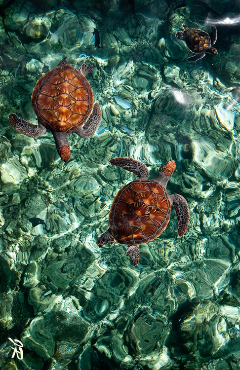 Valentines Wallpaper Cute Sea Turtles Pictures Photos And Images For Facebook