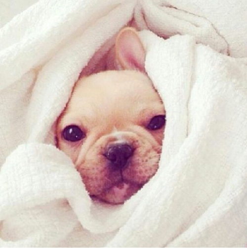 Cute Frenchie Wallpaper Sweet Dog Face Pictures Photos And Images For Facebook