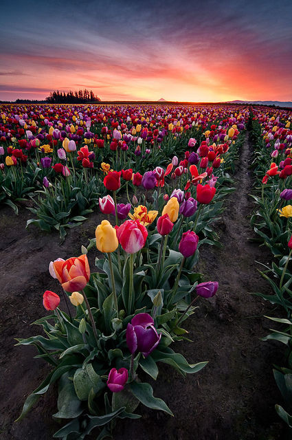 Field Of Colorful Flowers Pictures Photos and Images for