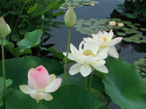 Easter Quotes And Sayings Wallpapers Lotus Flowers In A Pond Pictures Photos And Images For