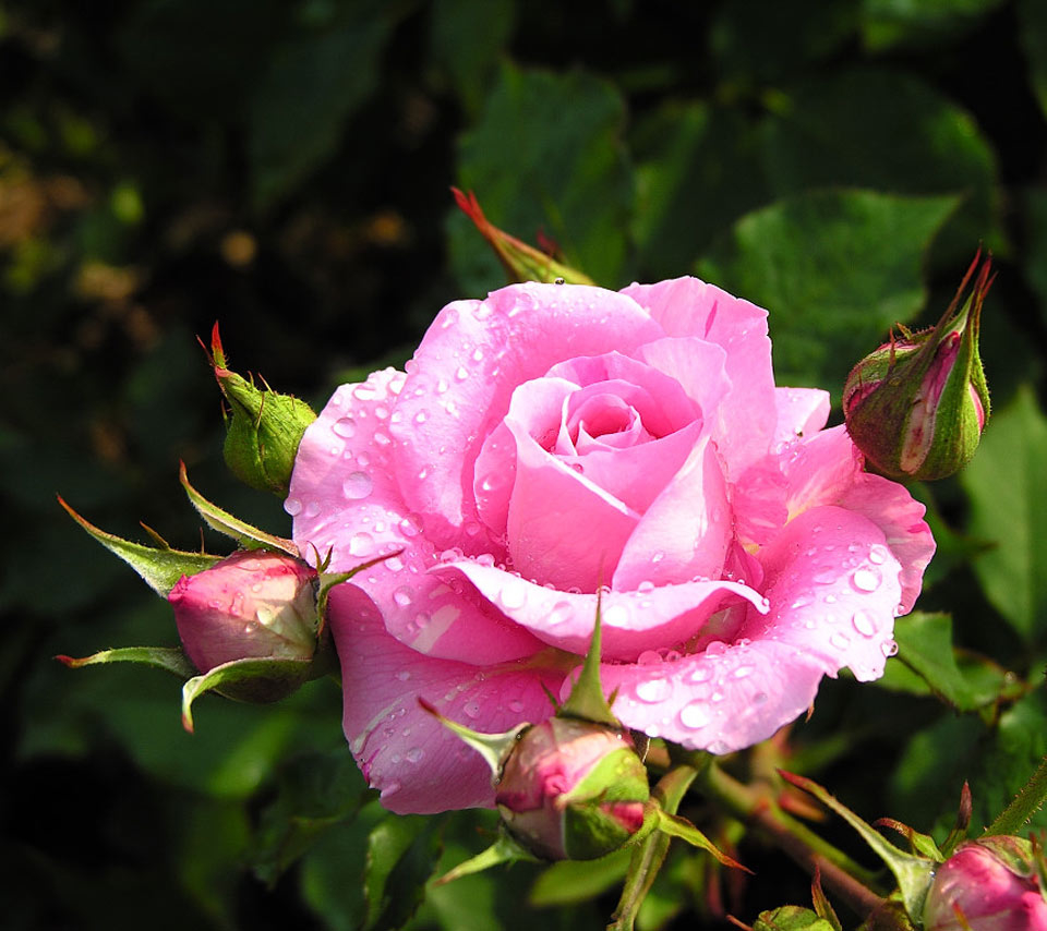 Perfect Pink Rose In Full Bloom Pictures Photos And