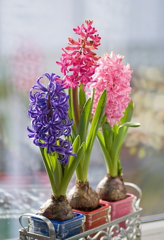Hyacinth Bulbs Pictures Photos And Images For Facebook