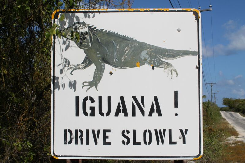 Iguanas are cherished on the Cayman Islands