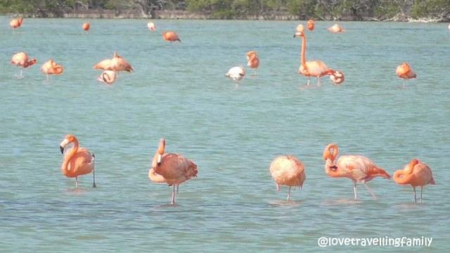 Flamingos, Ciénaga de Zapata, Cuba