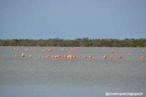 Flamingos in Laguna de las Salinas,Ciénaga de Zapata, Cuba