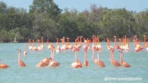 Pink flamingos, Ciénaga de Zapata, Cuba