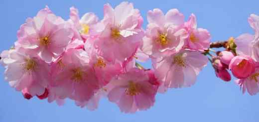www.cherryblossom dating asia.com