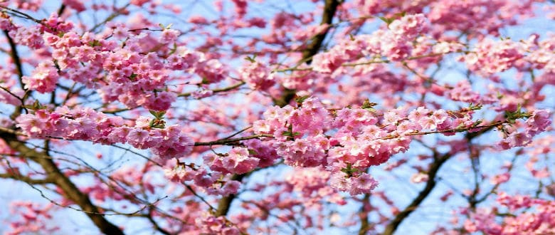 Cherry blossoms dating asian women