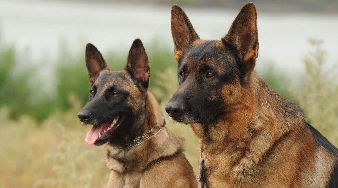 The Belgian Malinois (left) and German Shepherd (right)