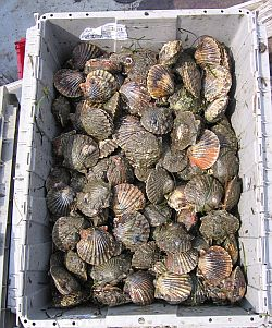 Long Island Bay Scallops our Jewels of the Bay