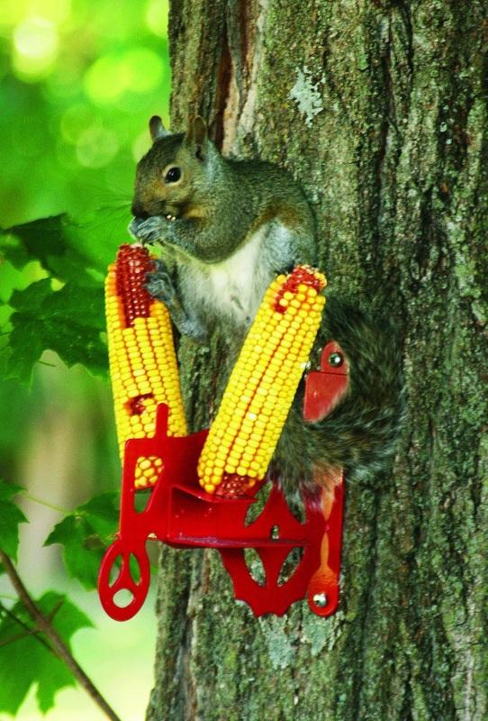 Feeding squirrels in backyard corn  Loving Backyard Squirrels