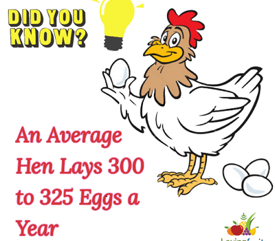 how much eggs hen lays in a year