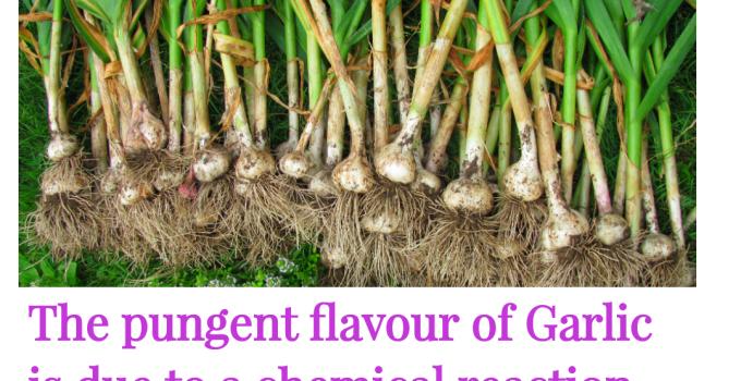Is garlic a spice