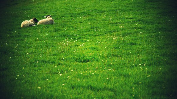 At Rest In Green Pastures With Our Shepherd