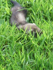 pic 21 baby ferret in our fields