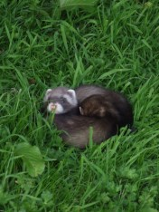 pic 23 baby ferrets in our fields