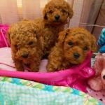 Purchase Toy Poodle Puppy Breeders Up To 70 Off