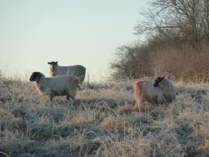 Rotational grazing for sheep: reviving an ancient grazing approach