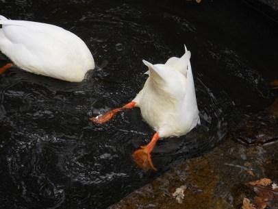 ducks-1171944_640