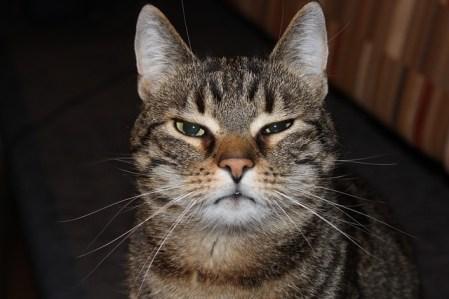 cat-2306185_640