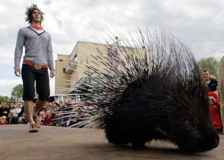 A totally unrelated photo of a porcupine fashion show (Source: nationalgeographic.com)