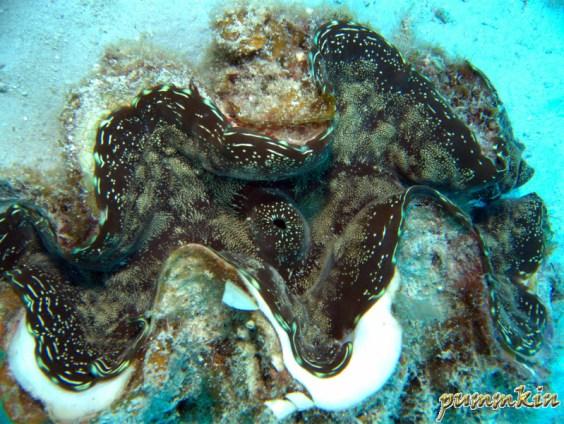 giant clam 4