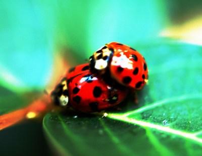 Ladybug Love | Credit: http://www.flickr.com/photos/cygnus921