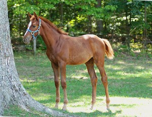 foal - dressage - Oldenburg - horse - mare