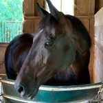 horse - mare -portrait - horse head -