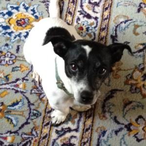 dog - Jack Russell - art - terrier