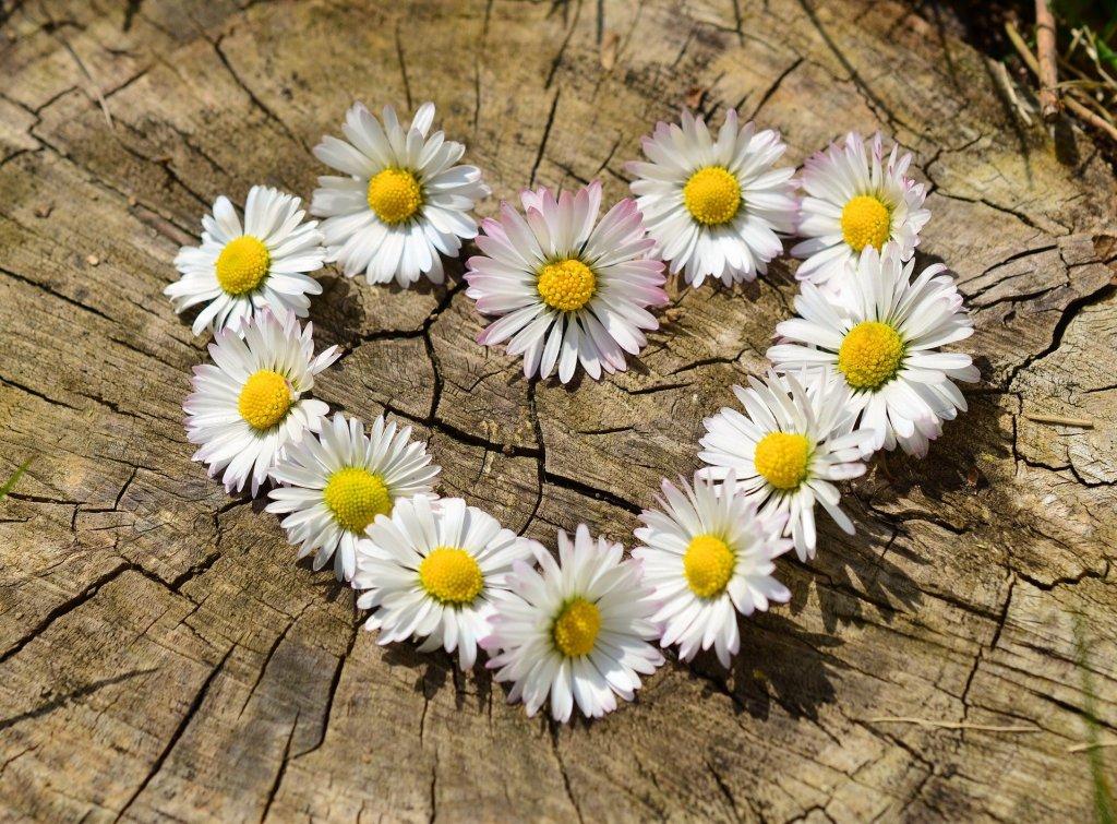 daisies flower shaped heart