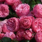 【ビオ・パルファン講座】Love Chopard Naturelle:ラブ・ショパール100%ナチュラルバージョン【ZOOM講座】