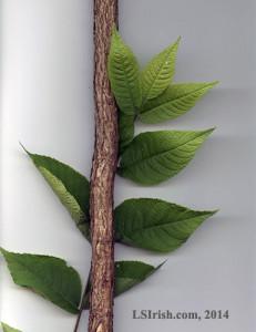 Black Walnut Walking Stick Wood Carving