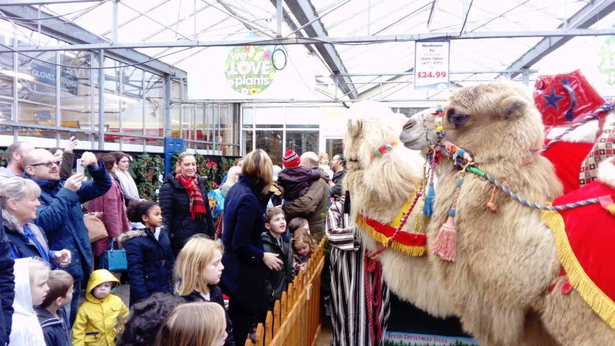 Lincoln Lantern Parade to be led by Camels