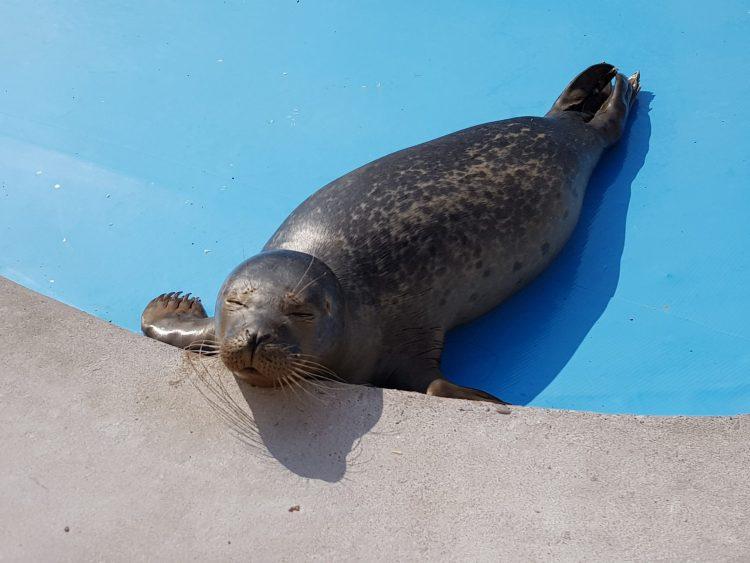 Natureland Seal Sanctuary rehabilitates around 60 to 70 seals each year.