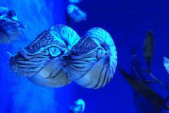 Spheniscus humboldti