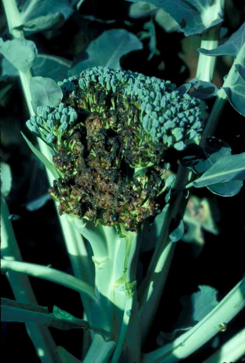 Diseases of Broccoli