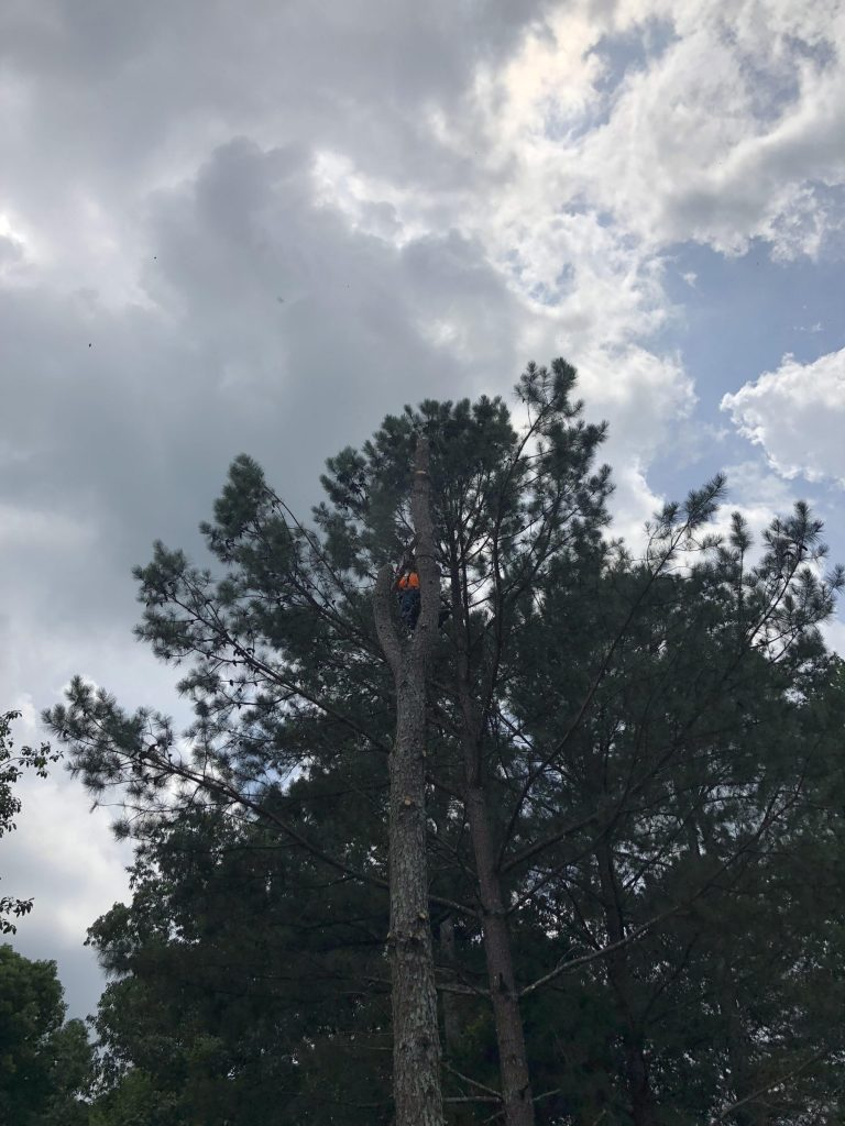 Tree Removal, 5 Pinus taeda, commonly known as loblolly pine
