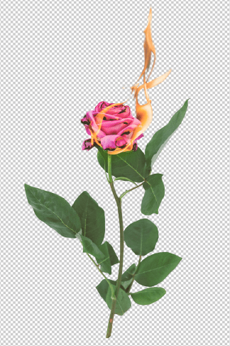 aesthetic-rose-on-fire-png-transparent-background-by-lu-amaral-studio